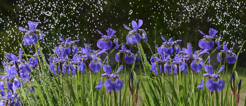iris flowers in rain