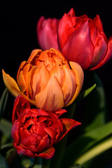 Obraz na Szkle Kwiaty Fine art still life three red orange tulips bouquet macro, black background in vivid bright glowing colors on black background