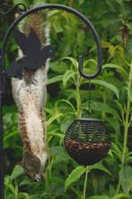 Squirrel Eating Peanuts From Garden Bird Feeder