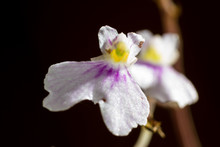 Small White Orchid
