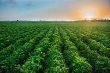 Green Bean Crop Field On The F...
