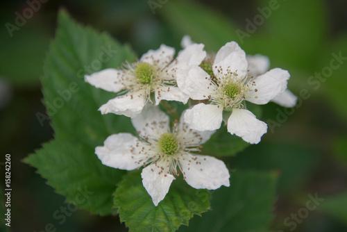 White flower with five petals in star shape buy this stock photo white flower with five petals in star shape mightylinksfo