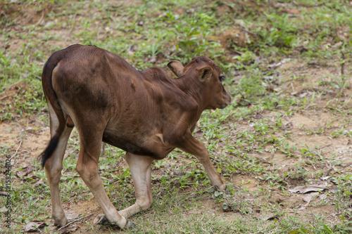 up standing jung cute brown calf Fototapete