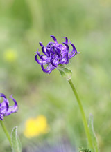 Alpine Flora:  Round-headed Rampion (Phyteuma Orbiculare) Found Over 2000 Meter Over Sea Level In Dolomites Alps, Italy