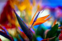 Crane Flower Or Bird Of Paradise