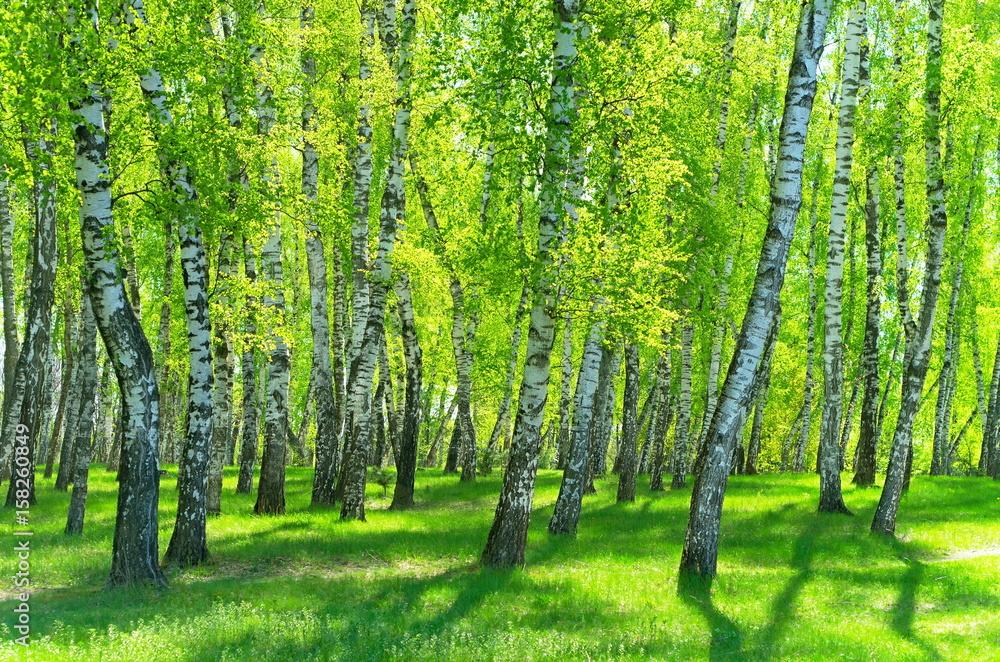 Fototapety, obrazy: Brzozowy las w słoneczny dzień