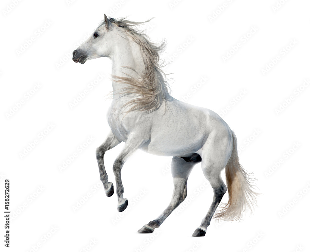 Fototapeta white rearing andalusian stallion isolated on white