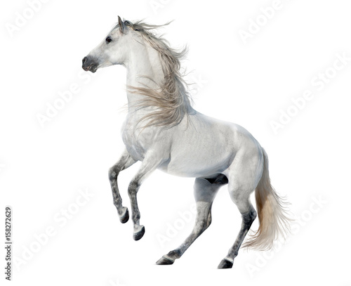 Poster Chevaux white rearing andalusian stallion isolated on white