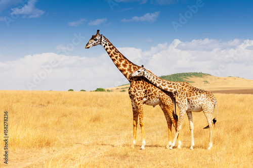 Poster Giraffe Giraffe and calf standing together in savanna