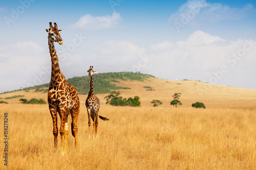 Masai giraffes walking in the dry grass of savanna