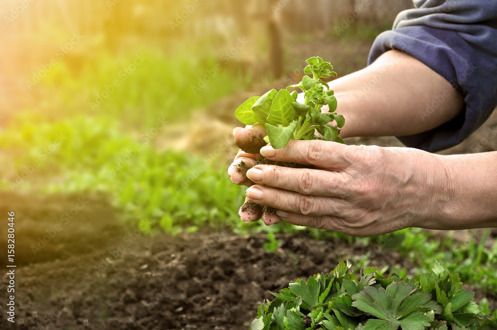 Fototapety, obrazy: Hands of an elderly women planted in the ground plants