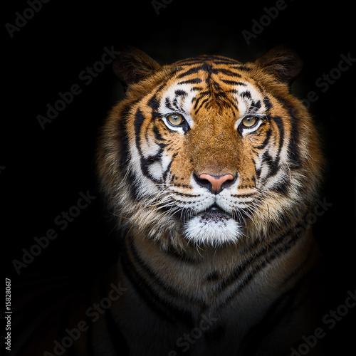 Foto auf AluDibond Tiger Tigers.