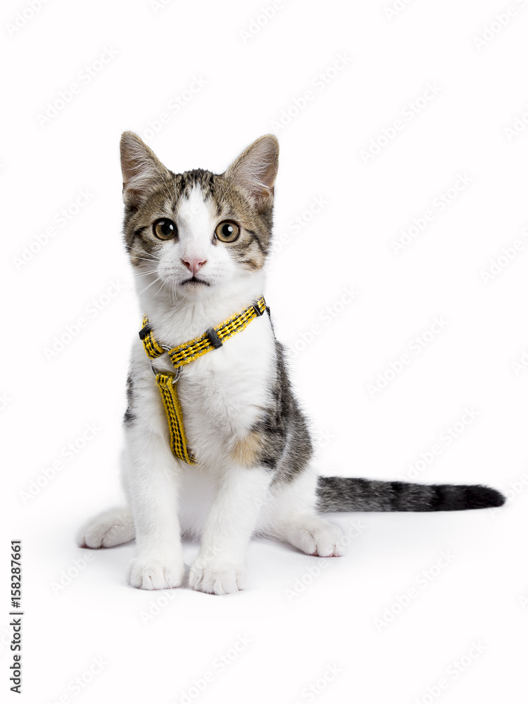 fotografia european shorthair kitten cat sitting on white