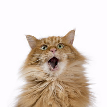 Yawning Red Solid Maine Coon