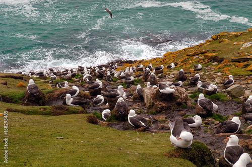 Fotomural  Schwarzbrauenalbatros auf Saunders Island der Falklands