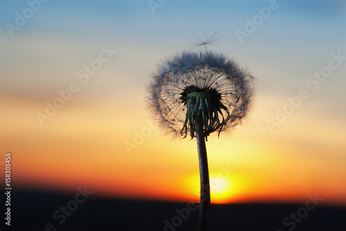 Poster Paardenbloem white Dandelion in the sky with the sun