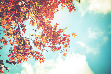 Fototapeta Beautiful autumn leaves and sky background in fall season, Colorful maple foliage tree in the autumn park, Autumn trees Leaves in vintage color tone.
