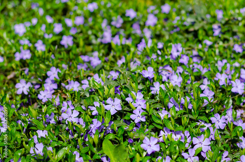Fotografía  Carpet of blue periwinkle flowers in the meadow of fresh green grass