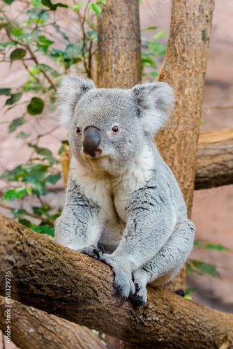 koala, phascolarctos cinereus, sitting on a tree