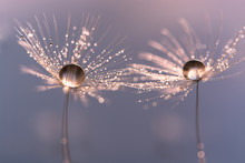 Dandelion With Drops Of Water In A Beautiful Tonality. Macro Of A Dandelion.