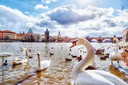 Poster Cygne White swans and ducks on Vltava river, towers and Charles Bridge in Prague, Czech Republic. Clear spring sunny day scenery with blue sky, sun and clouds.
