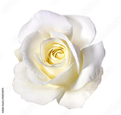 Obraz na płótnie white rose isolated on white