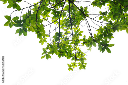 Fotografia  Green leaves isolated on white background