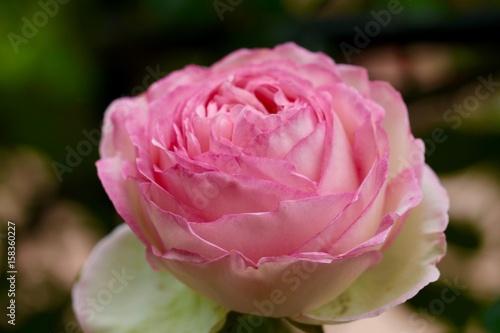 Fleur rose belle Jardin amour rose tendresse – kaufen Sie dieses ...