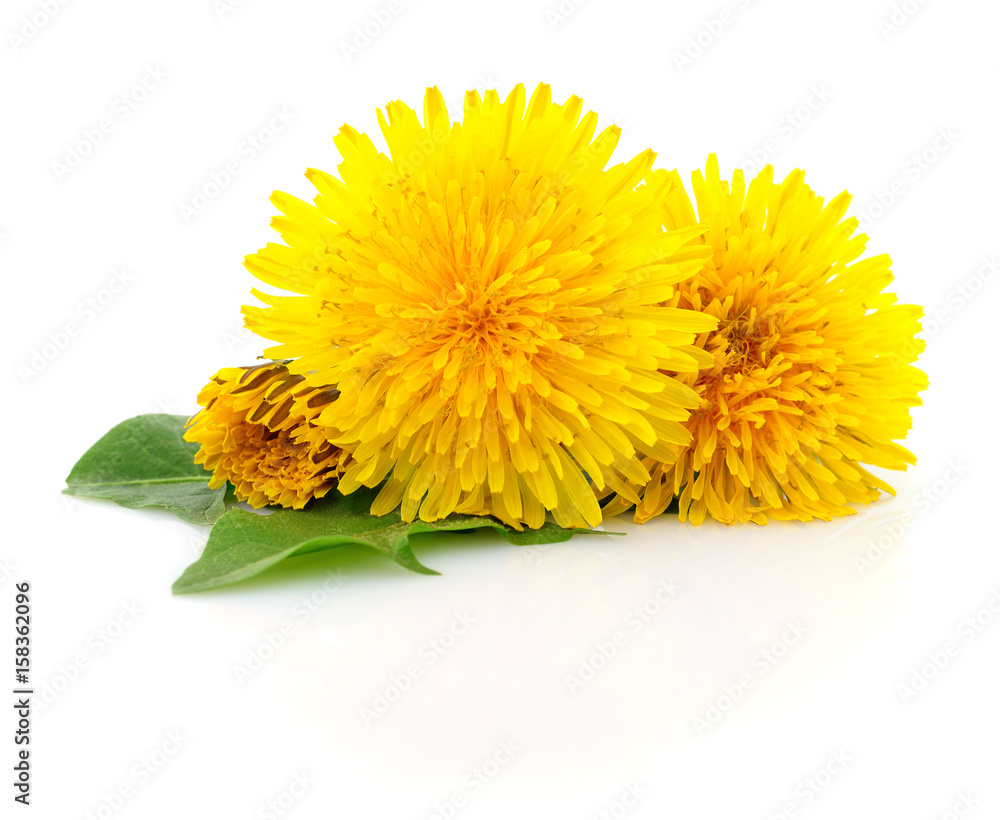 Fototapety, obrazy: Three dandelions with leaves.