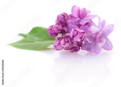 La pose en embrasure Lilac Pink lilac flower.