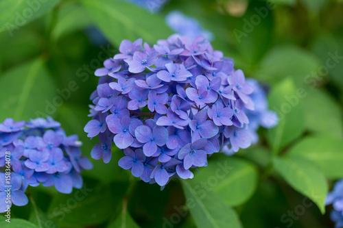 Foto op Aluminium Hydrangea Purple hydrangeas close up