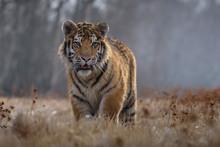 Tiger, Siberian Tiger (Ursus M...