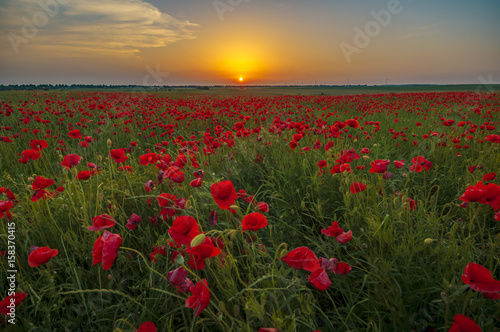 Fototapeta Red poppies in the light of the rising sun obraz na płótnie