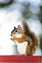Tree Squirrel Eating Peanut On...