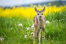 Young Wild Roe Deer In Grass, ...