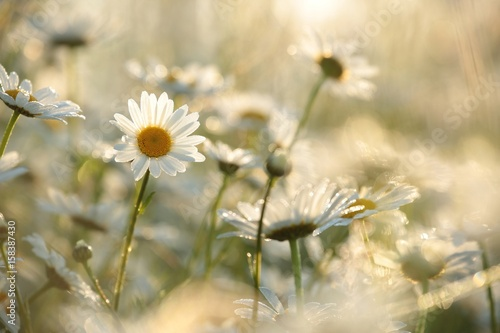 Photo sur Aluminium Marguerites Daisy in a meadow lit by the rising sun