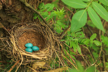 Three Blue Eggs Of The Thrush In The Straw Nest On A Tree In The Forest