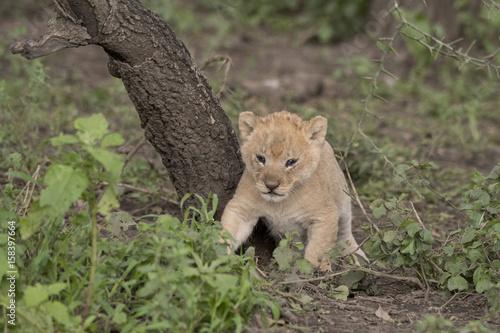 Fotografie, Obraz  Curious Lion Cub, Serengeti