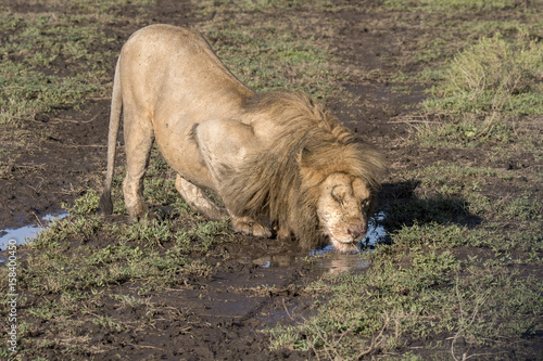 Photo  Alpha Male Drinking Water