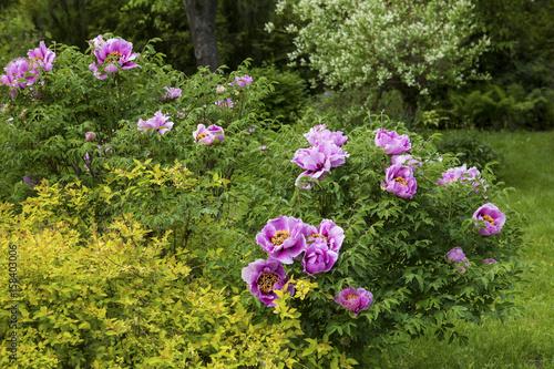 Paeonia Suffruticosa in a summer garden