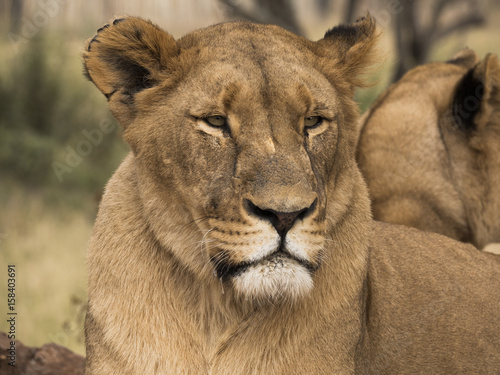 Lioness Head Shot Poster