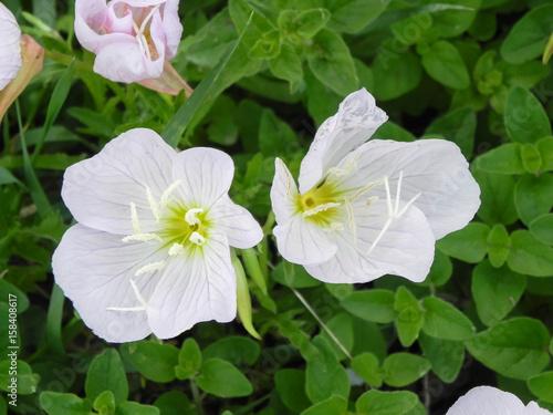 pair of evening primrose