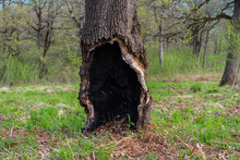 Old Oak With Burned-out Hollow...