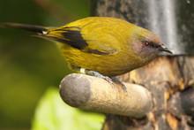 A Bellbird, And Endangered Bir...