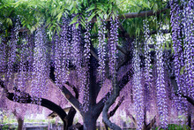 Wisteria Flowers In Evening An...