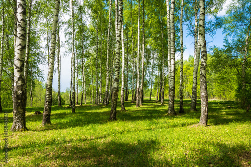 Birch grove on a bright Sunny day.