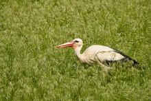 Big Stork In The Grass, Feeding