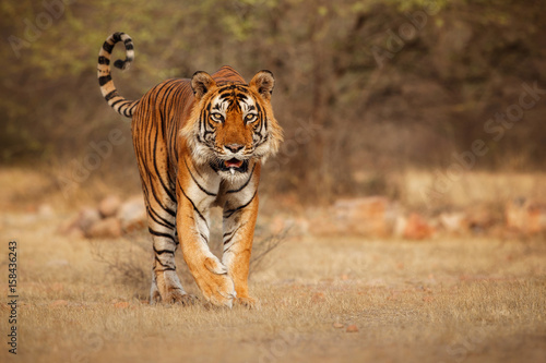 In de dag Tijger Tiger in the nature habitat. Tiger male walking head on composition. Wildlife scene with danger animal. Hot summer in Rajasthan, India. Dry trees with beautiful indian tiger, Panthera tigris