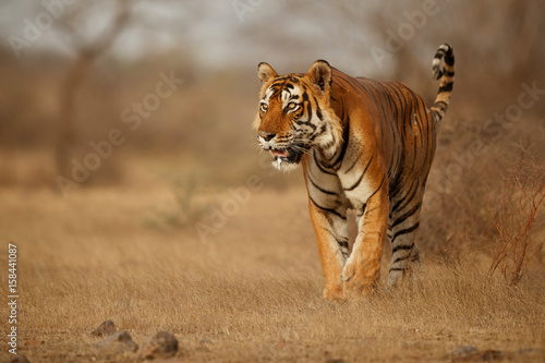 Foto auf AluDibond Tiger Tiger in the nature habitat. Tiger male walking head on composition. Wildlife scene with danger animal. Hot summer in Rajasthan, India. Dry trees with beautiful indian tiger, Panthera tigris
