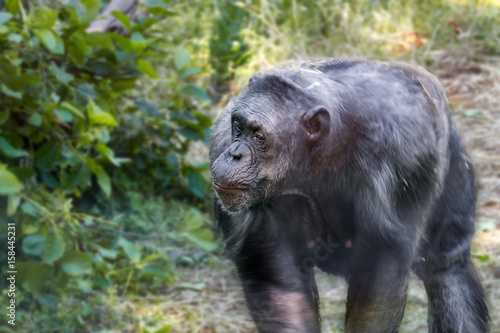 anthropoid ape of a chimpanzee Canvas Print
